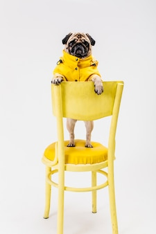 Little dog in yellow outfit standing on chair