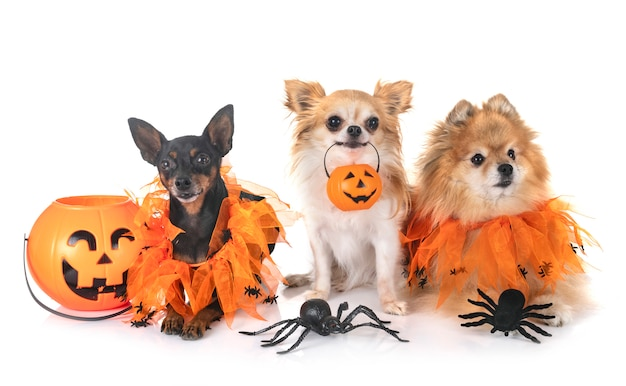 Little dogs and halloween