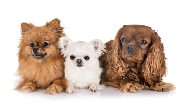 Little dogs isolated