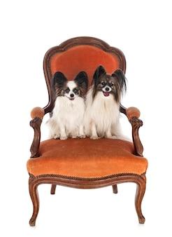 白い背景の前の椅子に小さな犬