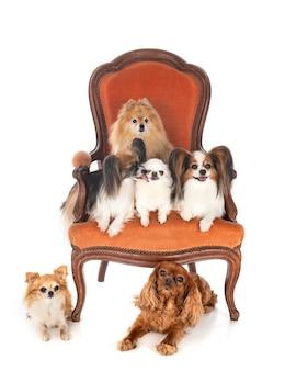 白い孤立した前の椅子の上の小さな犬