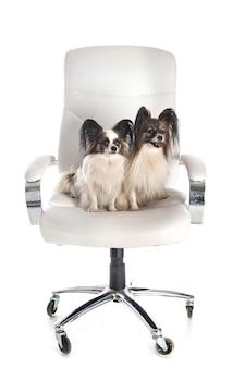 Маленькие собаки на стуле впереди на белом изолированные