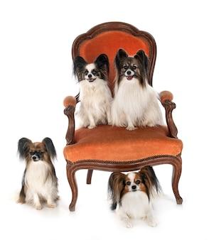 Маленькие собаки на стуле