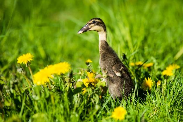 緑の芝生に座っている小さな国内灰色アヒルの子