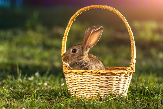 Little, domestic rabbit in a basket in the grass at sunset. rabbit at sunset