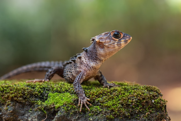 Little dragon from east indonesia, crocodile skink