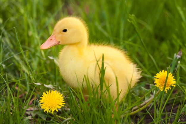 Little duckling in green grass