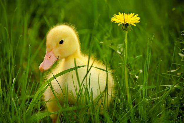 Little duckling