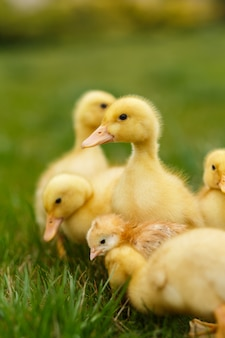 Little ducklings and chickens on green lawn.