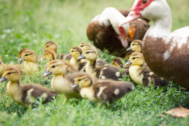 Little ducklings in green grass, agriculture