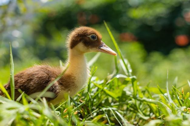 Маленькие утята в зеленой траве в солнечный день домашние птицы фермы