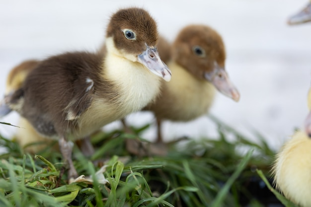 Маленькие утята на зеленой траве