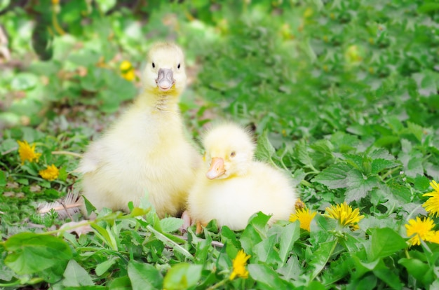 緑の芝生に小さなアヒルの子。農場の鳥、カブ。