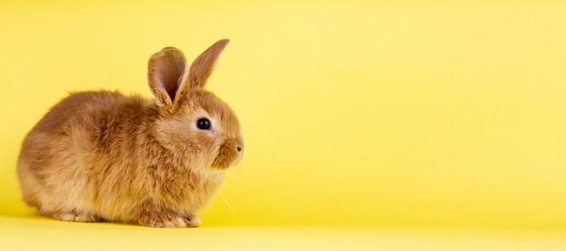黄色の背景に小さなイースター活発なウサギ。黄色の壁に赤いふわふわのウサギ、