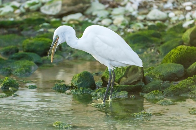 Little egret eating an eel in a river with rocks with green moss, spain.v