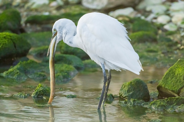 Little egret eating an eel in a river with rocks with green moss, spain.