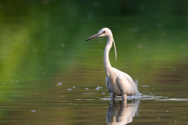 コサギ(egretta garzetta)が沼で食べ物を探しています。鳥。動物。
