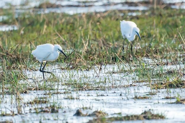 Little egret (egretta garzetta) at sunset in the natural park of the marshes of ampurdã¡n, girona, catalonia, spain.