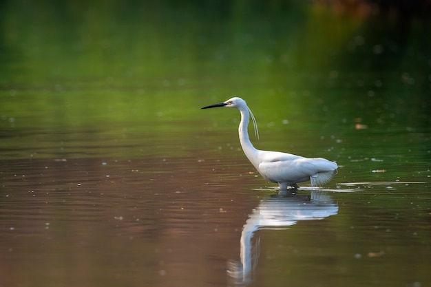 Little egret looking for food in the swamp