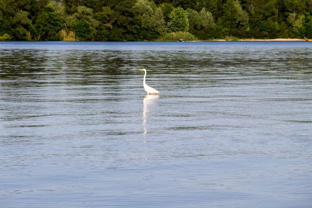 드네프르 강에 있는 작은 백로 또는 백로(egretta garzetta)