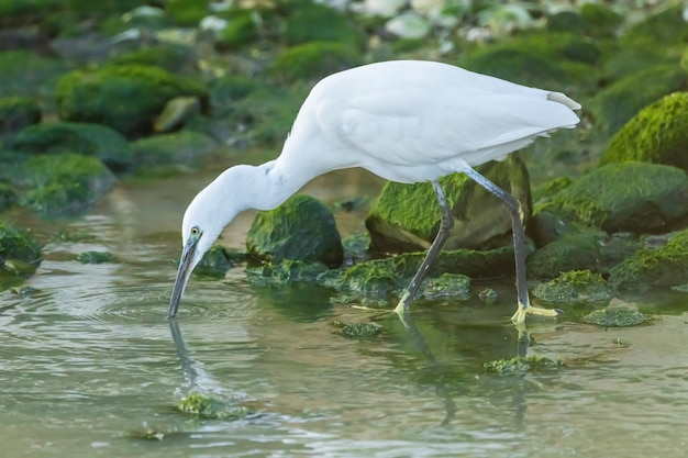 Little egret searching for food in a river in the town of vila joiosa, spain.