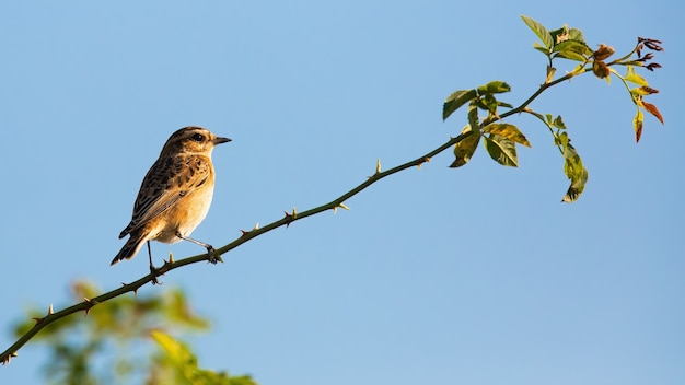 Little european stonechat climbing up thorn in sunny weather and clear skies