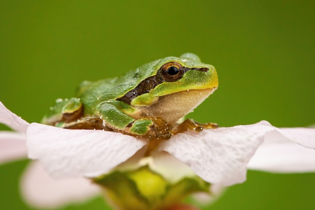 Little european tree frog sitting in flower head in summer nature