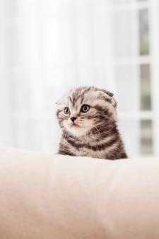 Маленький исследователь. любопытный маленький котенок шотландской вислоухой смотрит в сторону, сидя в помещении