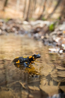 Little fire salamander inactively resting in water stream