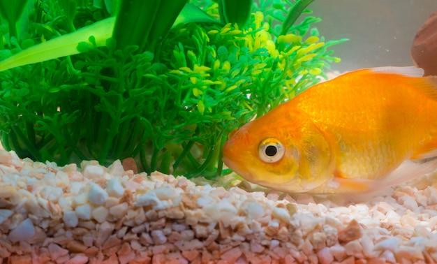 Little fish in fish tank or aquarium, gold fish, fancy carp