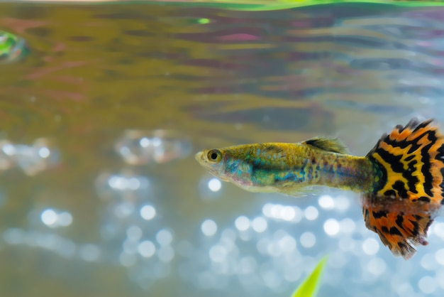 Little fish in fish tank or aquarium, gold fish, guppy and red fish, fancy carp with green plant