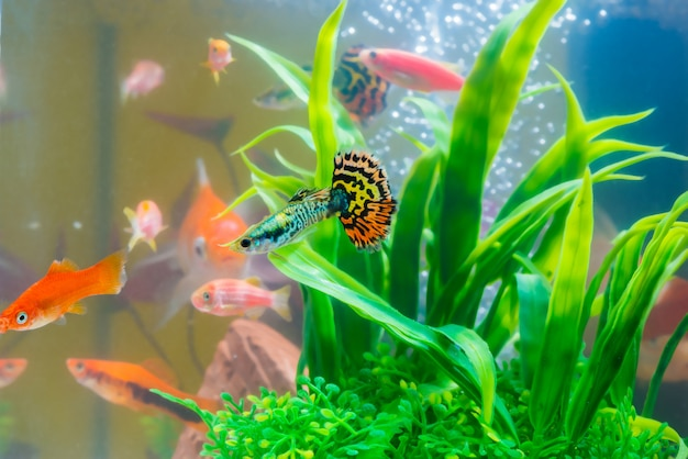 Little fish guppy and red fish in fish tank or aquarium