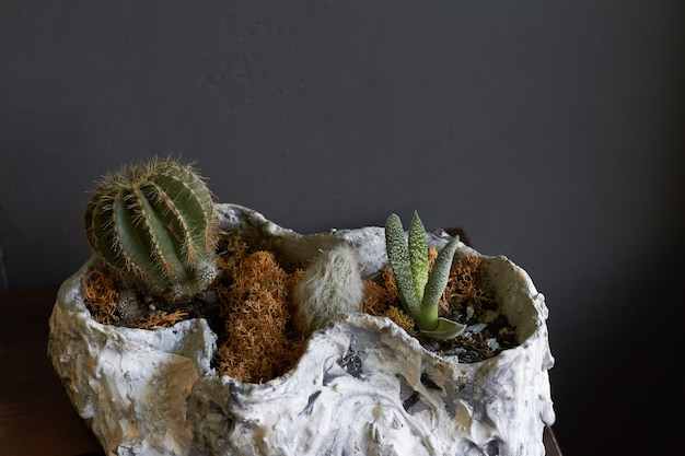 Little florarium fairy garden and miniature cacti potted in old sea shell on dark , selective focus