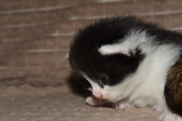 少しふわふわの白黒の子猫のクローズアップ