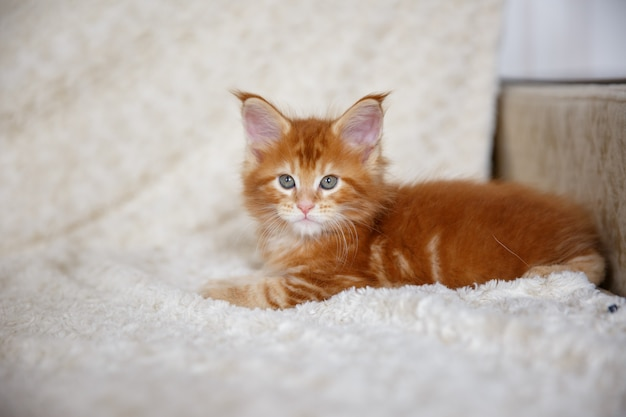 Little fluffy kitten maine coon