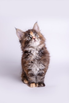 Little fluffy kitten maine coon.
