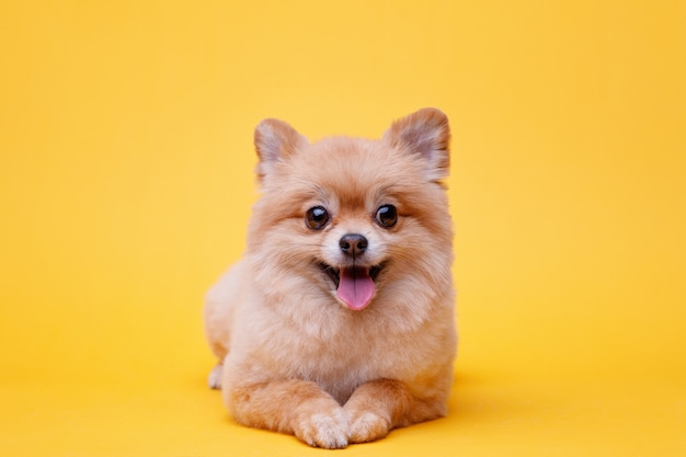 Little fluffy puppy of pomeranian spitz lying on bright yellow background