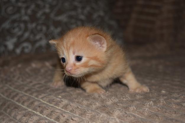 Маленький пушистый рыжий котенок играет на диване