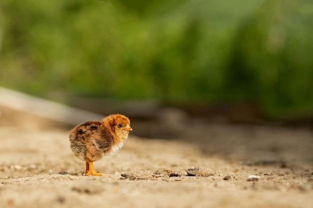 Маленький пушистый желтый цыпленок гуляет во дворе села в солнечный весенний день.