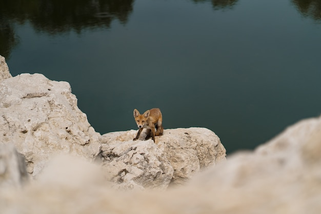 Little fox sunbathing on a white stone near water in nature.