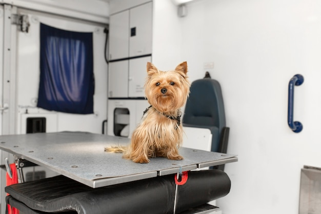 Little fun doggy yorkshire terrier posing on manipulation table inside pet ambulance car. veterinary clinic promotion.