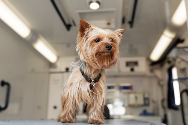 Little fun doggy yorkshire terrier posing on manipulation table inside pet ambulance car