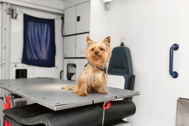 애완 동물 구급차 차 내부 조작 테이블에 포즈 작은 재미 강아지 요크셔 테리어. 동물 병원 홍보.