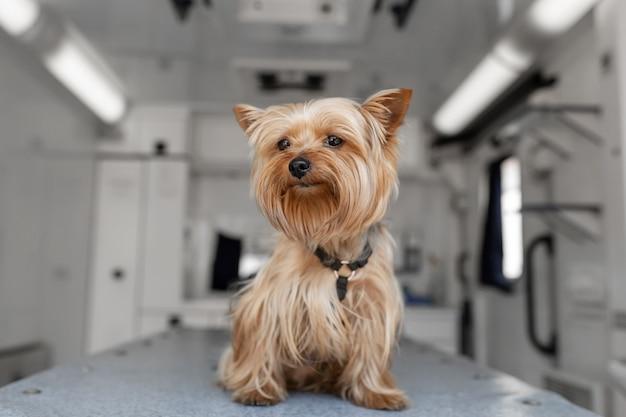 Маленькая забавная собачка йоркширского терьера позирует на манипуляционном столе в машине скорой помощи для домашних животных