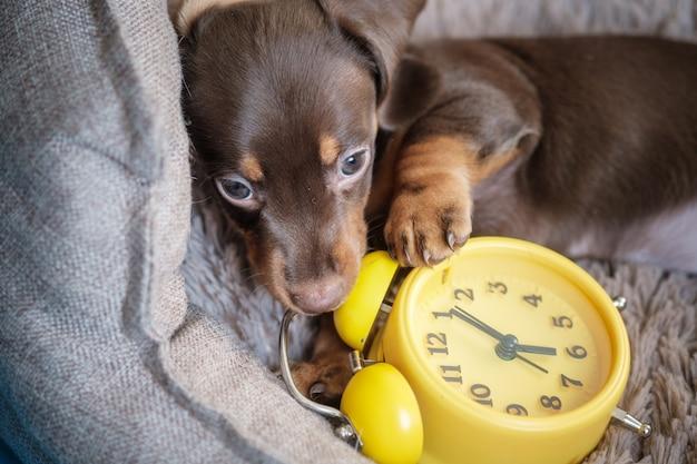 黄色のヴィンテージ目覚まし時計で遊ぶ少し面白いダックスフント子犬