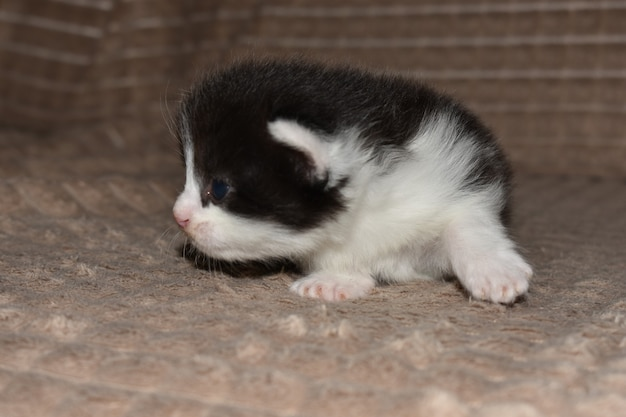 Little furry kitten playing on the couch