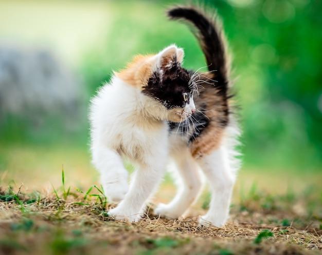 Little furry kitten