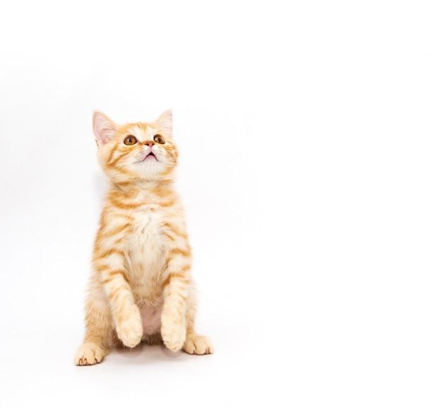 Маленький рыжий котенок. на белом фоне.