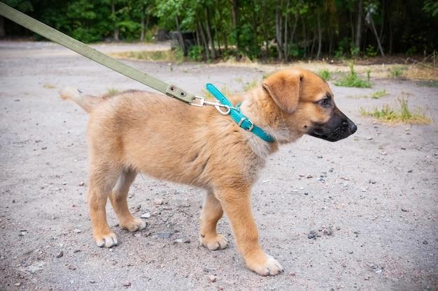 屋外のひもにつないで歩く緑の襟の小さな生姜の子犬