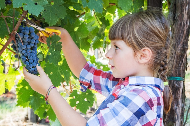 Little girl picking grape during wine harvest